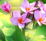 Hawaiian flowers. Tropical Plumeria on  Hawaii Stock Photography