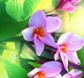 Hawaiian flowers. Tropical Plumeria on  Hawaii Stock Photo