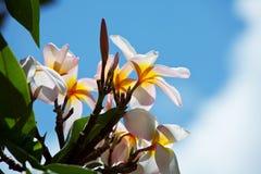 Hawaiian flowers. Tropical Plumeria on  Hawaii Stock Image