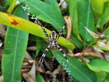 Hawaiian garden spider Argiope Appensa in the rain Royalty Free Stock Photos