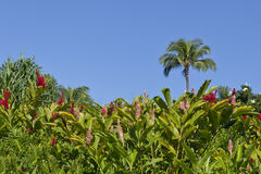 Hawaiian Ginger Garden Stock Photography