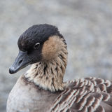 Hawaiian Goose Royalty Free Stock Image