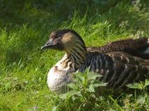 Free Hawaiian Goose Royalty Free Stock Images - 2487919