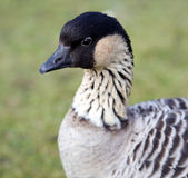 Hawaiian Goose Stock Photo