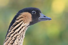 Hawaiian goose(Branta sandvicensis) Royalty Free Stock Photos