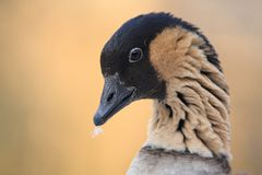 Hawaiian goose(Branta sandvicensis) Stock Image
