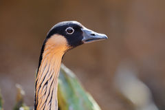Hawaiian Goose Branta Sandvicensis Stock Image
