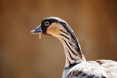Free Hawaiian Goose Branta Sandvicensis Stock Photography - 89868372