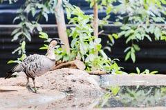 Hawaiian Goose Branta sandvicensis royalty free stock photography