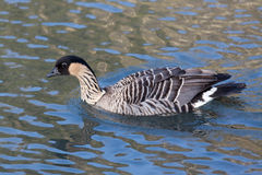 Hawaiian Goose (branta sandvicensis) Stock Photos