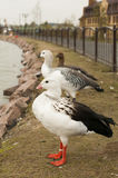 Hawaiian Goose Stock Photo