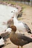 Hawaiian Goose Stock Photography