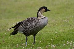 Hawaiian Goose, Nene Stock Images