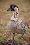 Hawaiian Goose - Nene - Closeup - full body Stock Photography