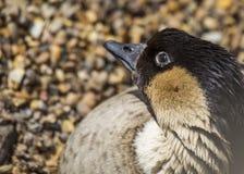 Hawaiian Goose Stock Image