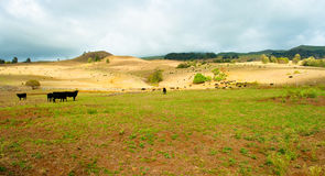 Hawaiian grass land. Wide frame picture of a cow farm in hawaii stock image