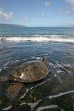 Hawaiian Green Sea Turtle. Green Sea Turtle feeding on algae on the reef on Oahu, Hawaii stock photos