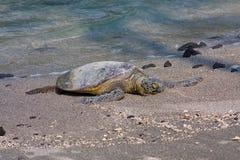 Hawaiian Green Sea Turtle. A Hawaiian Green Sea Turtle basking in the sun on the beach Royalty Free Stock Photo