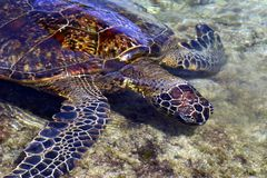 Hawaiian Green Sea Turtle. Green Turtle feeding, Hawaii Royalty Free Stock Photos