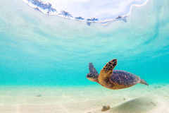 Free Hawaiian Green Sea Turtle Stock Photography - 63933462