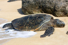 Hawaiian green sea turtle basking in the sun. Hawaiian Green sea turtle basking in the sun on a beach Royalty Free Stock Photo
