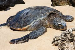 Hawaiian green sea turtle basking in the sun. Stock Image