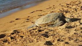 Hawaiian Green Sea Turtle on the Beach in Hawaii stock footage