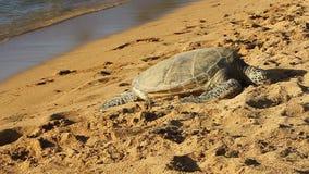 Hawaiian Green Sea Turtle on the Beach in Hawaii. A Hawaiian Green Sea Turtle resting on the Beach on the Island of Oahu in Hawaii stock footage