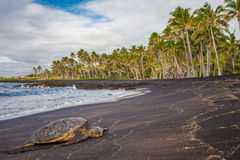 Hawaiian Green Sea Turtle on black sand beach royalty free stock images