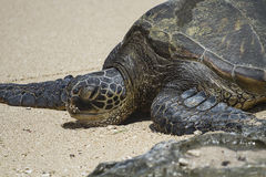 Hawaiian Green Sea Turtle (close-up) Royalty Free Stock Image