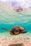 Hawaiian Green Sea Turtle Royalty Free Stock Photo