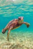 Hawaiian Green Sea Turtle. A Hawaiian Green Sea Turtle cruising in the warm waters of the Pacific Ocean of Hawaii Royalty Free Stock Photos