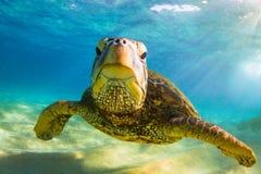 Hawaiian Green Sea Turtle cruising in the warm waters of the Pacific Ocean. A Hawaiian Green Sea Turtle Cruising in the warm waters of the Pacific Ocean in stock image