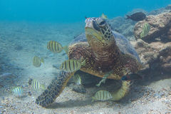 Hawaiian Green Sea Turtle. An endangered Hawaiian Green Sea Turtle cruises in the warm shallow waters of the Pacific Ocean on the North Shore of Oahu, Hawaii Stock Photo