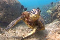 Hawaiian Green Sea Turtle Stock Images