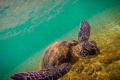 Hawaiian Green Sea Turtle Stock Photos