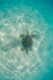 Hawaiian Green Sea Turtle Royalty Free Stock Images