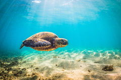 Hawaiian Green Sea Turtle Stock Photography
