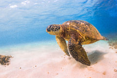 Hawaiian Green Sea Turtle. An endangered Hawaiian Green Sea Turtle cruises in the warm shallow waters of the Pacific Ocean on the North Shore of Oahu, Hawaii Royalty Free Stock Image