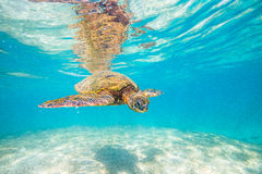 Hawaiian Green Sea Turtle Royalty Free Stock Photography