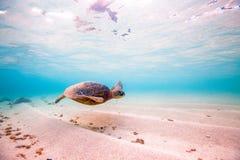 Hawaiian Green Sea Turtle Royalty Free Stock Image