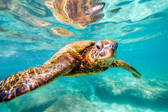 Hawaiian Green Sea Turtle. An endangered Hawaiian Green Sea Turtle cruises in the warm shallow waters of the Pacific Ocean on the North Shore of Oahu, Hawaii Royalty Free Stock Photo