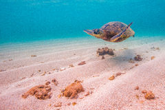Hawaiian Green Sea Turtle. An endangered Hawaiian Green Sea Turtle cruises in the warm shallow waters of the Pacific Ocean on the North Shore of Oahu, Hawaii Stock Photography
