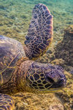 Hawaiian Green Sea Turtle Royalty Free Stock Photo