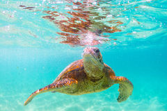 Hawaiian Green Sea Turtle Royalty Free Stock Photos