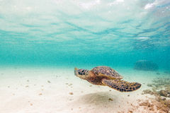Hawaiian Green Sea Turtle. An endangered Hawaiian Green Sea Turtle cruises in the warm shallow waters of the Pacific Ocean on the North Shore of Oahu, Hawaii stock images