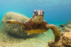 Hawaiian Green Sea Turtle. An endangered Hawaiian Green Sea Turtle cruises in the warm shallow waters of the Pacific Ocean on the North Shore of Oahu, Hawaii royalty free stock photography