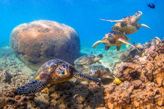 Hawaiian Green Sea Turtle. Endangered Hawaiian Green Sea Turtle cruising in the warm waters of the Pacific Ocean in Hawaii Stock Photo