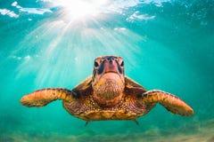 Hawaiian Green Sea Turtle Stock Photography