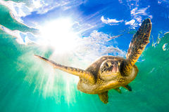 Hawaiian Green Sea Turtle. Endangered Hawaiian Green Sea Turtle cruising in the warm waters of the Pacific Ocean in Hawaii Stock Images